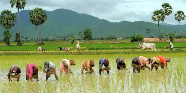 आज धान दिवसः किसानको पिर, रोपेर मुरी फलाउने दिन गए