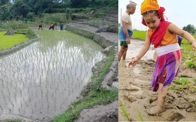 आज धान दिवसः खेतमा किसान (सामाजिक सञ्जालमा भेटिएका केही तस्बिर)